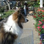 Le 12 avril 2014, petit Dako a fait un tour de caddy dans les rayons de la jardinerie de Fréjus. Il a trouvé de jolies fleurs à ramener !